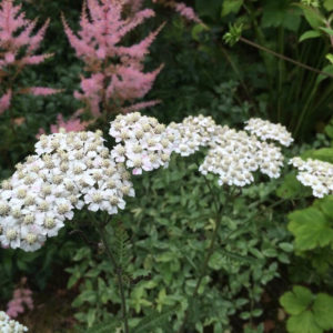 Bulgarian yarrow blue oil