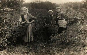 Rose oil picking in Bulgaria