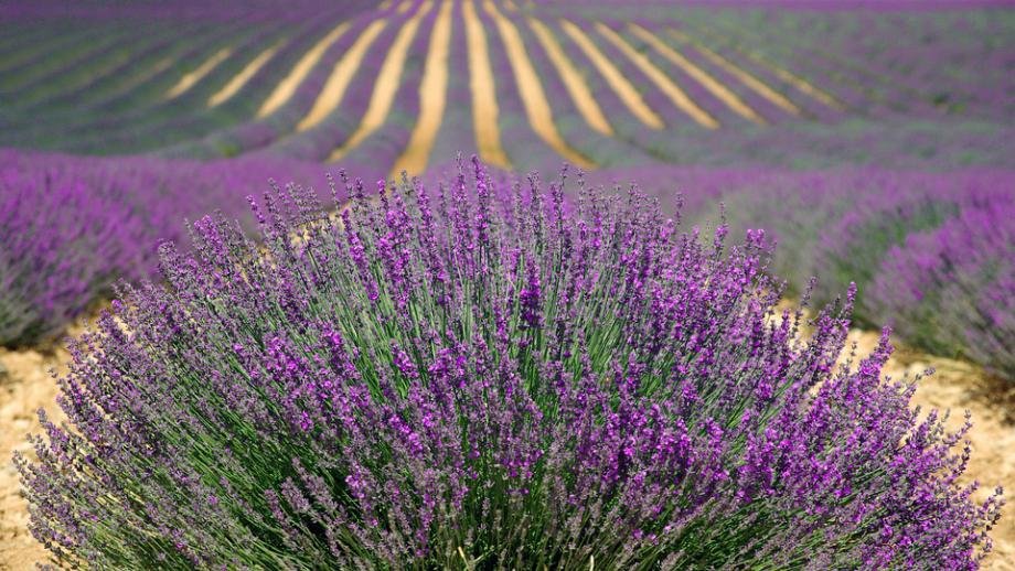 Lavender – therapist number one!