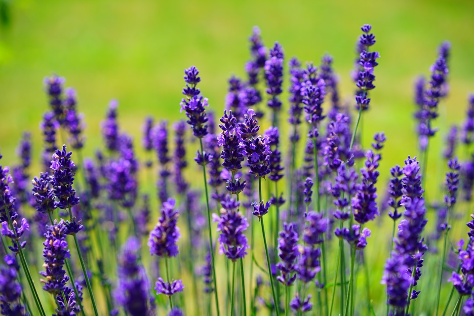 Lavender oil Benefits – Health and Skin